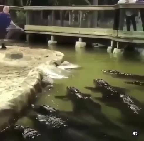"""HE EPSTEIN HIMSELF. he ded BONUS Artist : Lutris Song : Refill And Backflow Album : All The Under Deserted join list: GUDMUSIC (20 subs)Mention History.. Hes fine from the most related article I could find """"ORLANDO -- An alligator trainer in Orlando belly-flopped into a pool filled with alligators. The man,"""