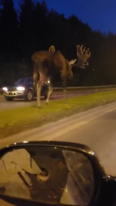 Full Size Absolute Unit Alaskan Moose. .. That side mirror tho