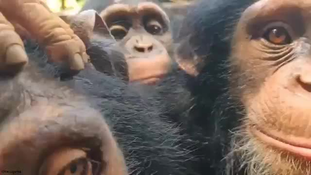 chimp. .. You're lying on your deathbed, and can feel your pulse weakening. It all fades to black. You wake back up, to the surprise of yourself, and have these monkeys i
