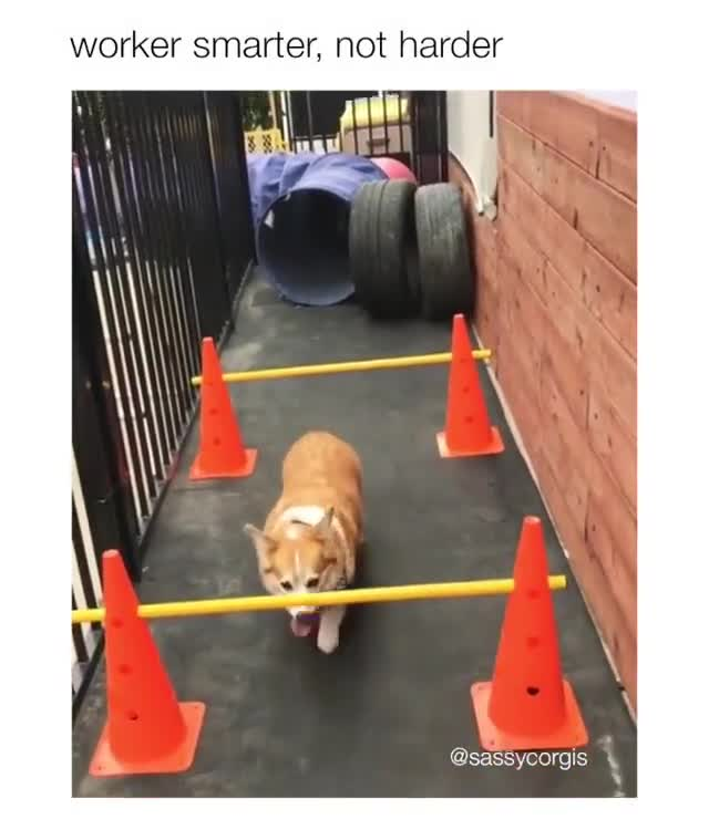corgis. .. He is doing limbo