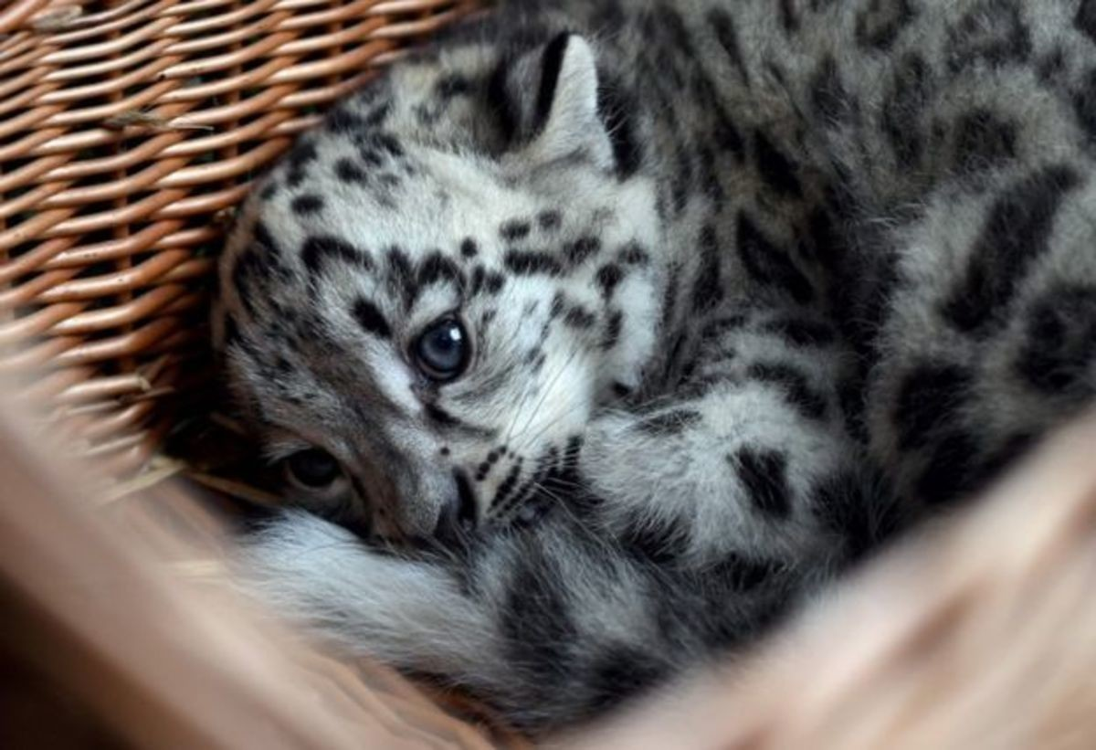 A Tisket, A Tasket, A Snow Leopard In A Basket. .. Snow leopards are such beautiful majestic creatures.