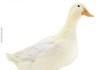 A normal duck