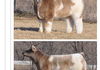 Fluffy Milk Horse